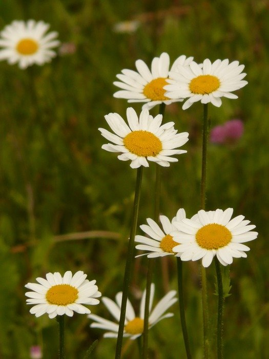 White daisies in a meadow