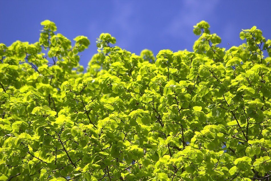 tree leaves light green with blue sky