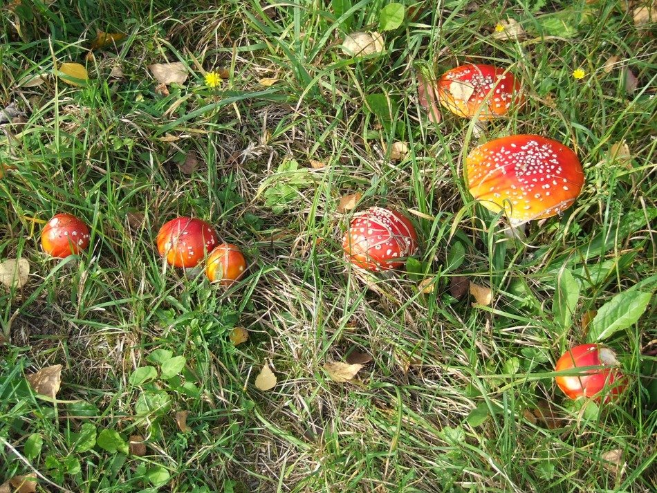 cluster of red fly agaric mushroom