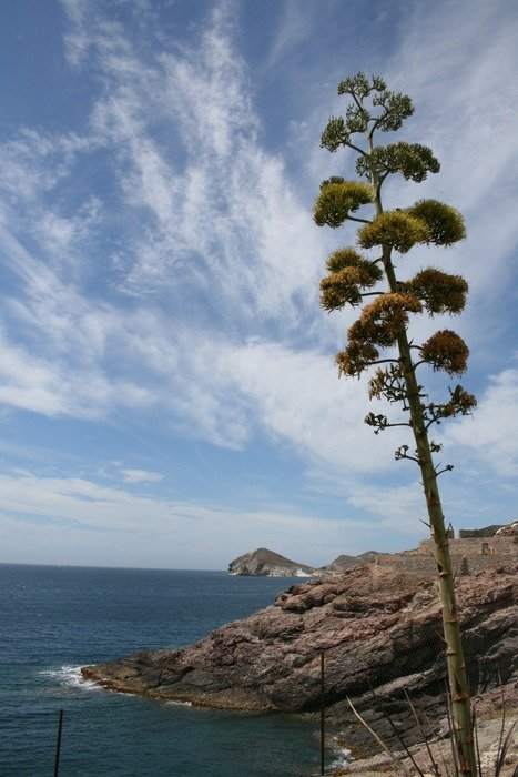 big agave on the coast of spain