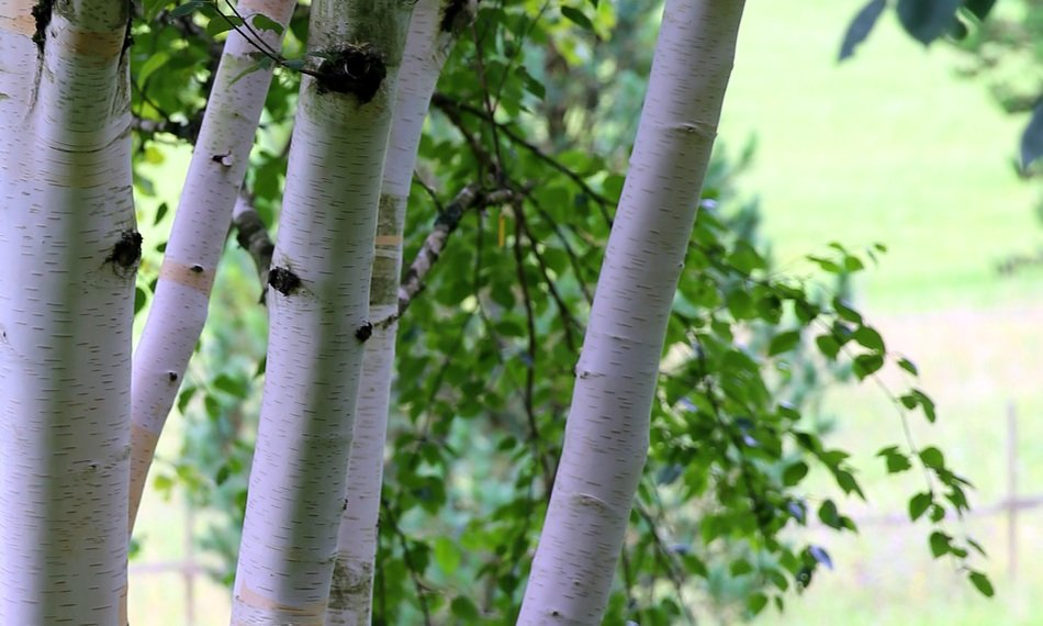 himalayan birch with white bark and green leaves