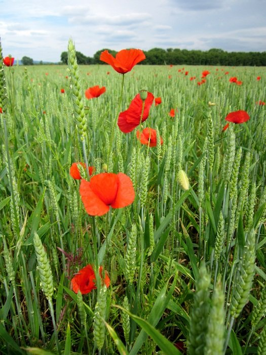 red poppies in green wheat field
