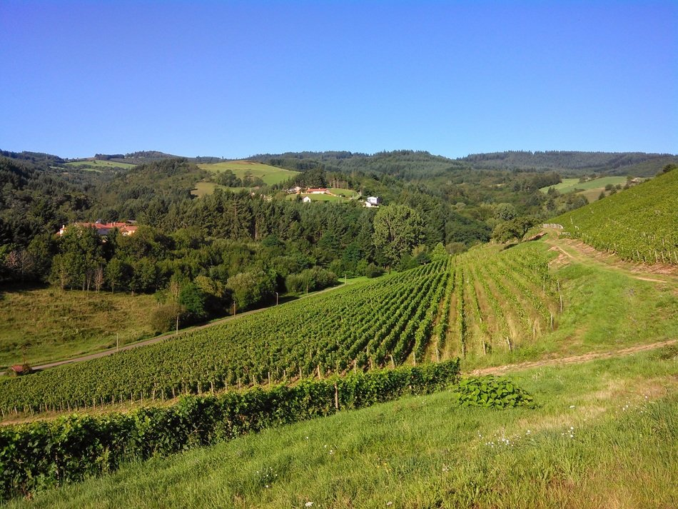 green vineyards on the mountainside