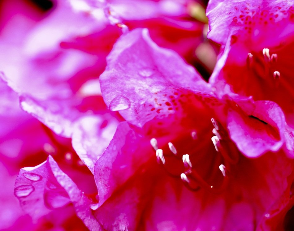 bright petals of a pink flower in drops close-up