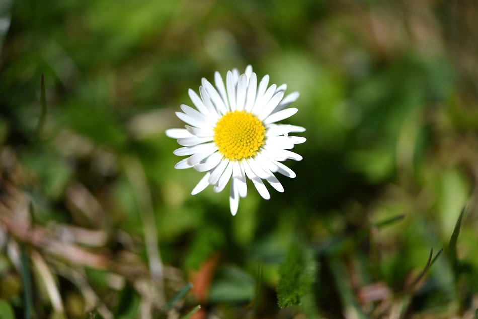 White daisy flower plant meadow nature