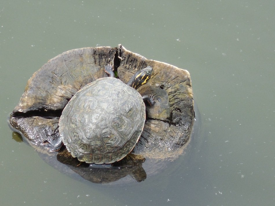 Turtle in a water