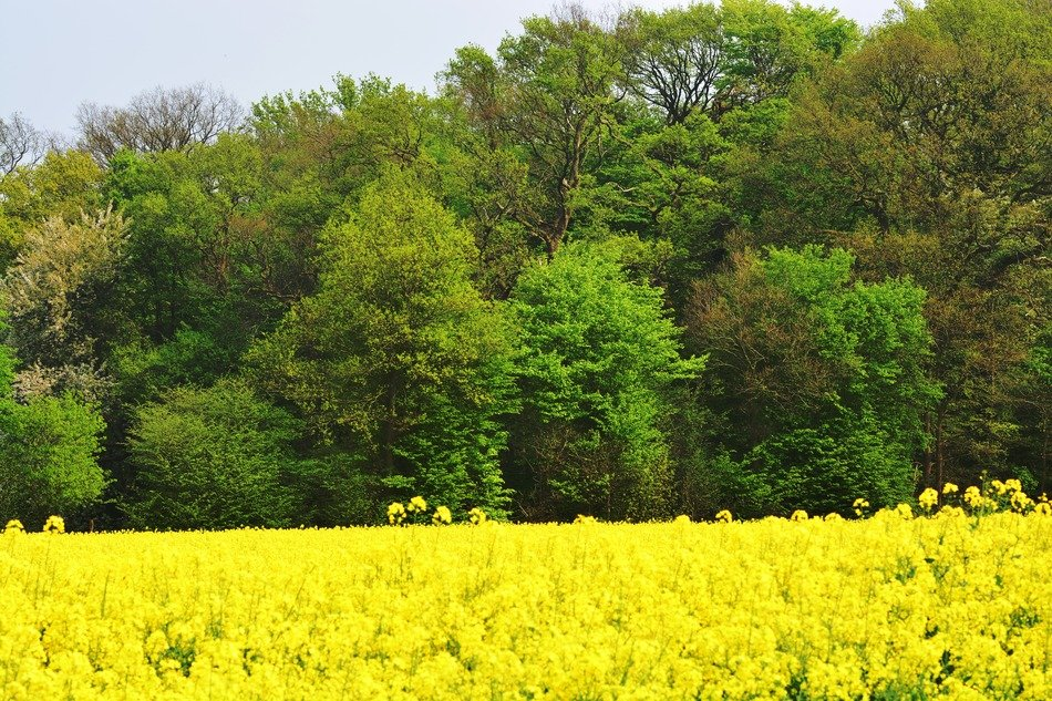 Yellow field green Forest view