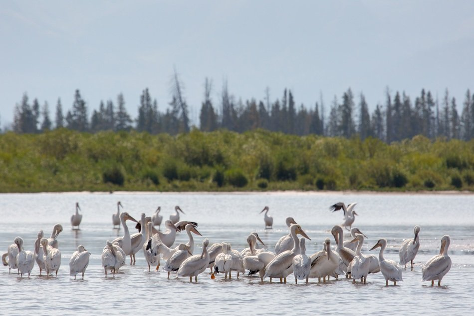 american white pelicans in water