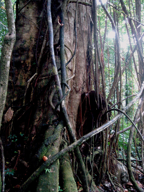 Tangled Tree Jungle Free Image