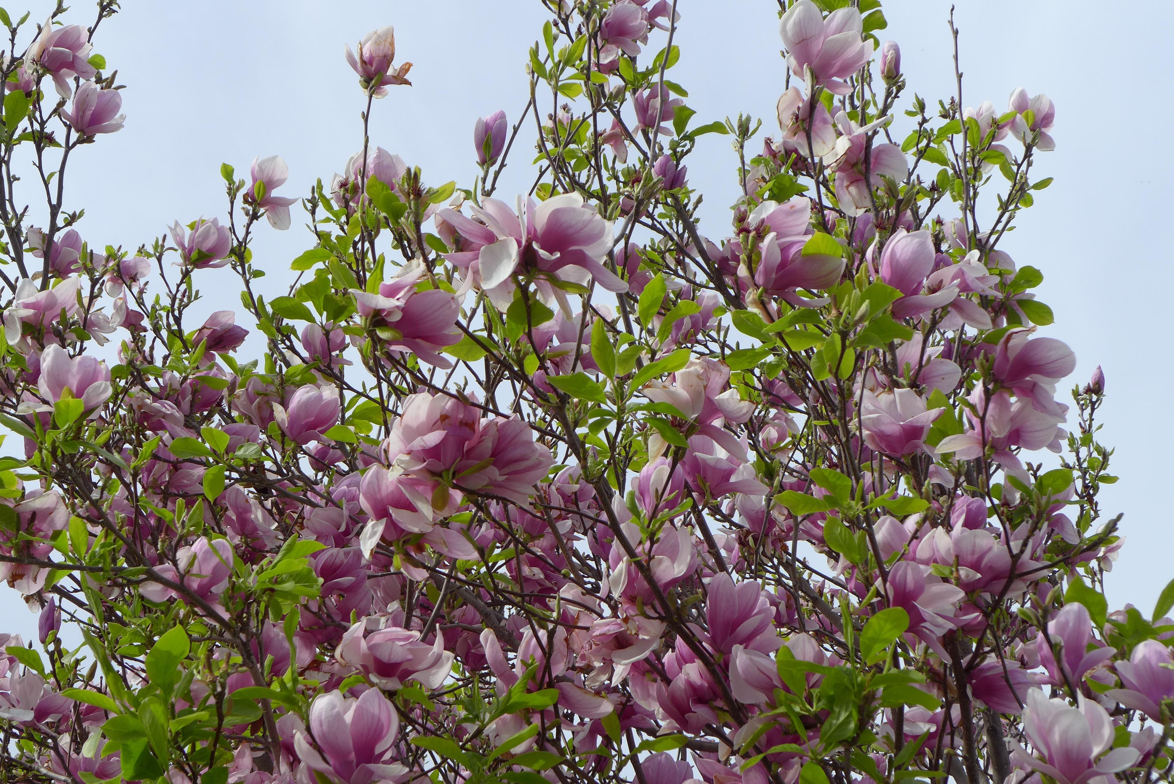 Tree With Large Purple Flowers Free Image