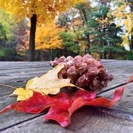 autumn leaves and cone