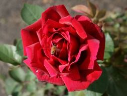 bee pollinating a red rose