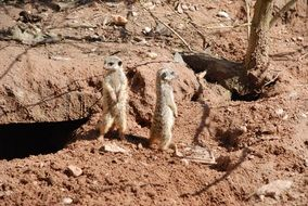 meerkats in the zoo