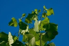 Sunny green leaves in blue sky