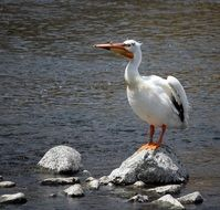 pelican stands on a stone on the water