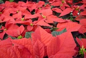 christmas terne flower red advent
