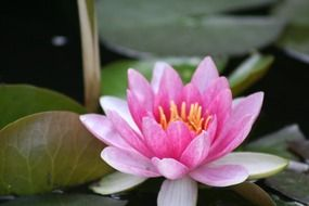 closeup of a filigreed pink water lily