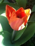 red tulip on flowerbed