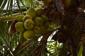coconut nuts on palm tree in summer