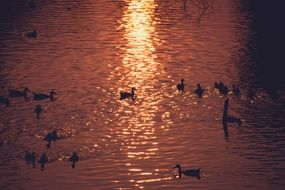 ducks swim in the pond at dawn