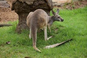 kangaroo near tree green grass view