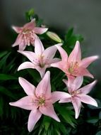 pink lilies in a vase