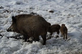 wild boar with offspring in the snow