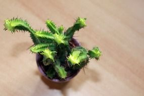 spiny green cactus in a pot