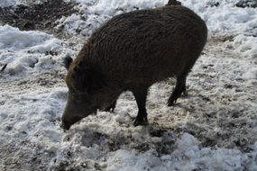 wild boar pig eating
