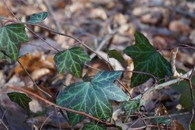 green ivy foliage in a forest