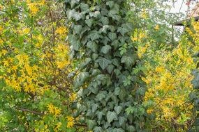 ivy green yellow log climber plants