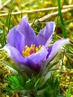 pasque flower in green grass