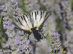 striped butterfly on lavender