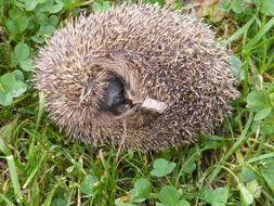 hedgehog lies in the green grass