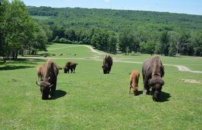 bison herd grazing on meadow at forest