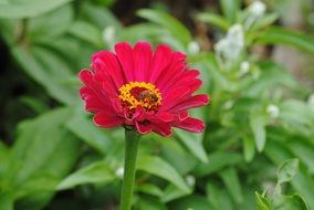 bee collecting pollen on pink zinnia flower