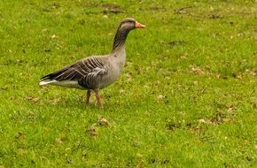 wild goose on a green meadow