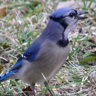blue jay bird with bright feathers