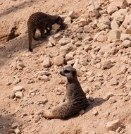 relaxing meerkats
