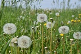 dandelion in green field meadow spring
