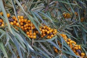 Yellow sea-buckthorn berries