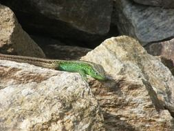 Lizard on the sand rocks