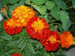 orange-red flowers with green leaves