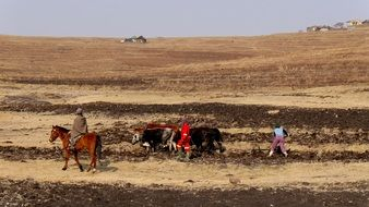 farmers plowing field with oxen driven plow, lesotho