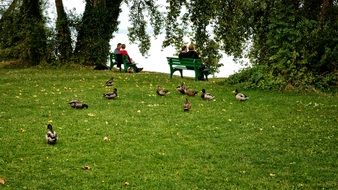 ducks on a green meadow near the lake