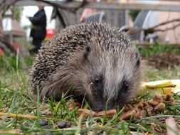 Picture of the hedgehog in a garden