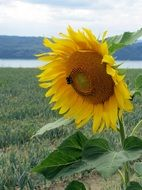 Lonely sunflower on nature