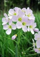 incomparable cuckoo flower
