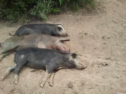 three lazy pigs are lying on the beach on the island of Corsica