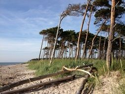 coniferous trees on the shore of the Baltic Sea